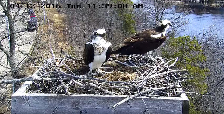 The ospreys have returned